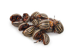 Colorado beetles Royalty Free Stock Photos