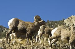 Colorado Big Horn Ram Royalty Free Stock Photo