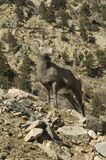 Colorado Big Horn Sheep. High up in the Rocky Mountains Stock Image