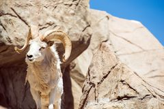 Colorado Bighorn Sheep Royalty Free Stock Photography