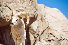 Colorado Bighorn Sheep Royalty Free Stock Photography