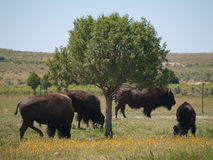 Colorado Bison Royalty Free Stock Image