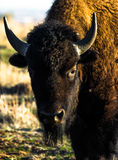 Colorado bison Royaltyfria Bilder