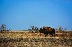 Colorado bison Fotografering för Bildbyråer