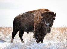 Colorado Bison. This is a picture of a Colorado Bison on the plains Royalty Free Stock Photo