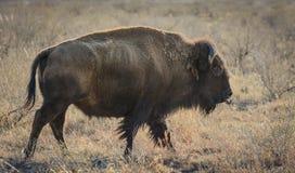 Colorado Bison Stock Photo