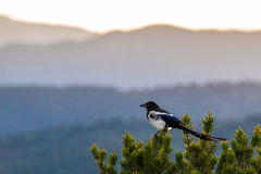 Colorado black billed magpie Royalty Free Stock Images