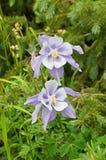 Colorado Blue Columbine Wildflowers Royalty Free Stock Photo