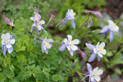 Colorado Blue Columbines Aquilegia caerulea growing near Aspen Colorado Royalty Free Stock Images