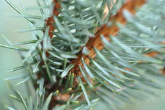 Colorado Blue Spruce. Close-up of needles of the Colorado Blue Spruce tree royalty free stock photos