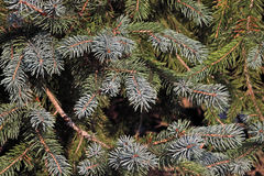 Colorado blue spruce tree Stock Images