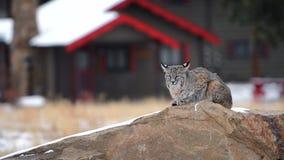 Colorado bobcat in Estes Park, Colorado stock footage