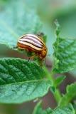 Colorado Bug Royalty Free Stock Images