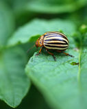 Colorado Bug Royalty Free Stock Photos