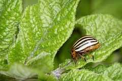 Colorado bug eats potato greens. The Colorado bug eats potato greens close up royalty free stock image