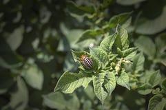 Colorado bug eats potato leaves. Selective focus stock photography