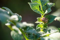 Colorado bug. Macro pest potatoes insect Stock Photos