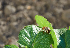 Colorado bug on potato leaf Royalty Free Stock Images
