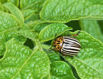 Colorado bug on potato leaves. The Colorado bug was going to eat potato leaves royalty free stock images
