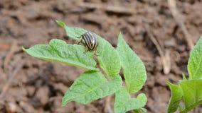 Colorado bug on spring potato  leaf stock video
