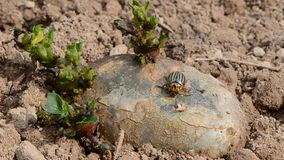 Colorado bug on spring potato with sprouts stock video