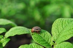Colorado bug Royalty Free Stock Image