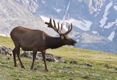 Colorado Bull Elk Royalty Free Stock Image