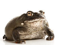 Colorado Bullfrog Royalty Free Stock Photography