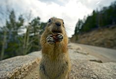 Colorado Chipmunk Royalty Free Stock Photography