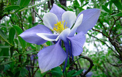 Colorado Columbine Stock Photos