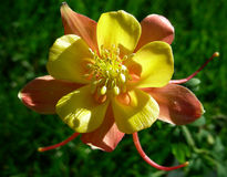 Colorado Columbine Royalty Free Stock Image