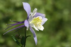 Colorado Columbine (aquilegia caerulea) Stock Photo