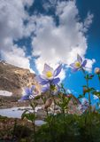 Colorado Columbine Aquilegia caerulea Blue Lake. From the ground up royalty free stock photography