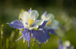 Colorado Columbine Stock Images