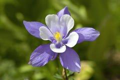 colorado columbine blommatillstånd Royaltyfri Foto
