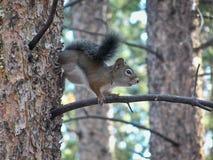 Colorado-Eichhörnchen auf einem Baumast Lizenzfreie Stockfotografie