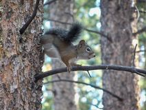 Colorado ekorre på en trädfilial royaltyfri fotografi