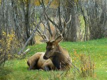 Colorado Elk Fest Bull Elk Sleeping stock photography