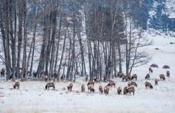 Colorado Elk Herd in Winter Royalty Free Stock Image