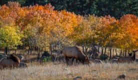 Colorado Elk Stock Photos
