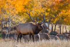 Colorado Elk Stock Images