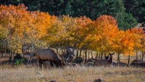Colorado Elk Royalty Free Stock Photos