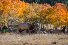 Colorado Elk. This elk was taken in Rocky Mountain National Park during the fall time Royalty Free Stock Image