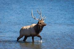 Colorado Elk Stock Image