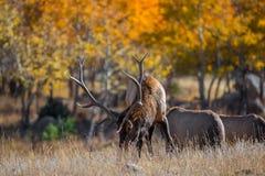 Colorado Elk Royalty Free Stock Image