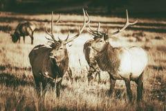 Colorado Elks Gang. In Estes Park. Colorado Wildlife. Vintage Brown Color Grading Stock Photography