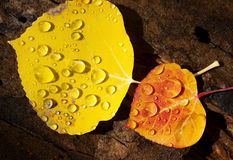 Colorado Fall-12 3643. Close-up of two Aspen leaves of striking colors and glistening raindrops, on a damp log Stock Photography