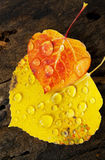Colorado Fall-12 3649. Close-up of two overlaping Aspen leaves of striking colors and crystal clear raindrops, on a damp log Royalty Free Stock Photo