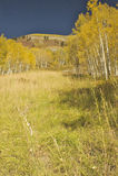 Colorado fall foliage. Fall foliage in Aspen, Colorado Royalty Free Stock Photos