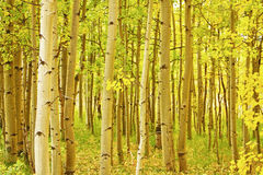 Colorado Fall Foliage Aspen Landscape. A beautiful Colorful Colorado Fall Foliage Aspen Trees Landscape looking into the forest Royalty Free Stock Photo